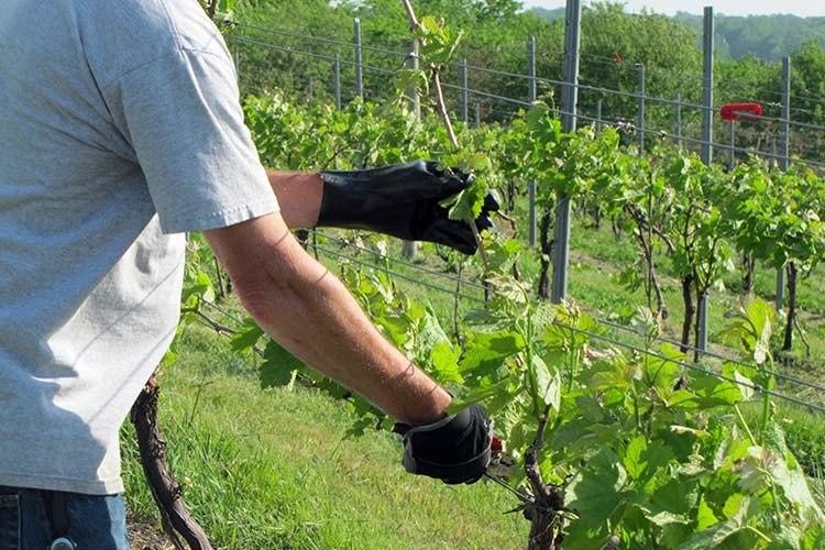 Молодые кусты винограда